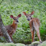 White-tailed Deer (C. Sparks, 2013)