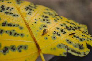 Snail on Tulip Tree Leaf (C. Sparks)
