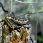 Garter Snake (C. Sparks, 2014)