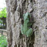 Gray Tree Frog  (Josh Pickering, 2014)