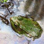 Green Frog (J. Pickering, 2014)