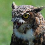 Great Horned Owl (R. McArthur, 2012)