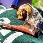 Hoary Bat (C. Sparks, 2015)