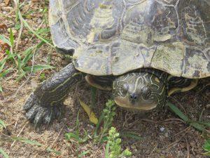 Map Turtle (J. Pickering, 2014-2)