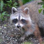 Raccoon (P. Manorome, 2014)