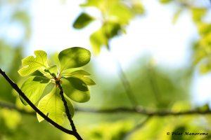 Sassafras Leaves (P. Manorome, 2014)