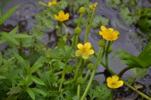 Yellow Water Buttercup (P. Manorome, 2015)