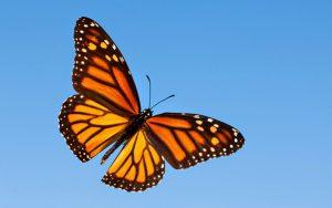 Monarch-Butterfly-25-HD-Screensavers