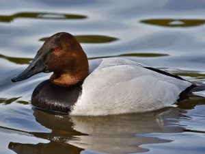 1CanvasbackMale