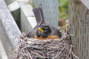 Robin_on_nest1