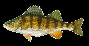 yellow-perch